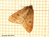 1960 Theria primaria (Early Moth)