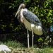 20170527 1737CPw [D~LIP] Marabu, Vogelpark Detmold-Heiligenkirchen