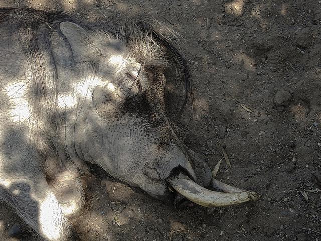 20170615 1976CPw [D~MS] Warzenschwein, Zoo Münster