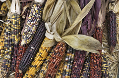 Not Your Average Corn Cobs – Marché Jean-Talon, Montréal, Québec, Canada
