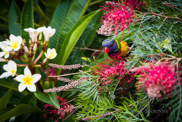 Visiting Lorikeet #3