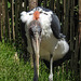 20170527 1739CPw [D~LIP] Marabu, Vogelpark Detmold-Heiligenkirchen