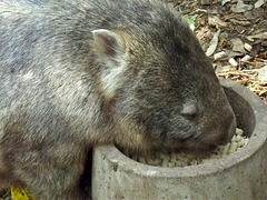 Wombat lunch