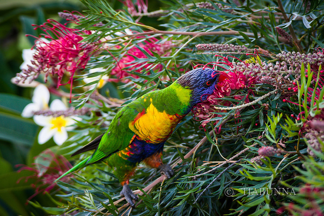 Visiting Lorikeet #2