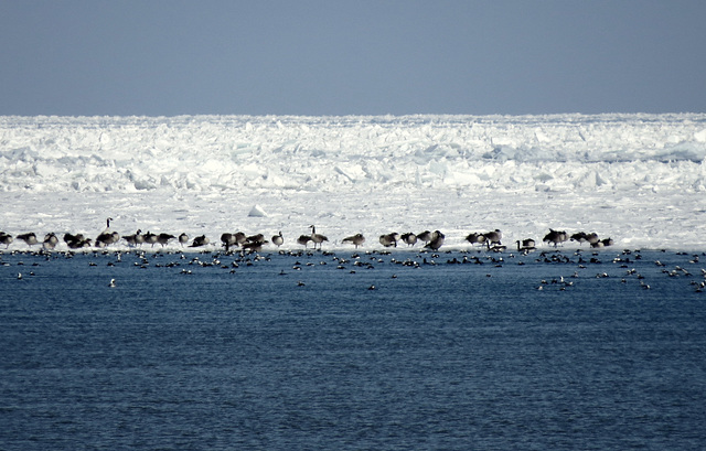 Canada geese & Old squaw ducks, ice on Lake Huron