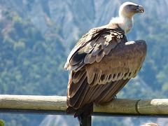 ...vautour...