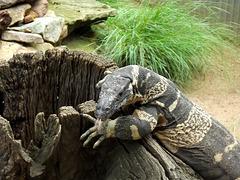 Monitor lizard...