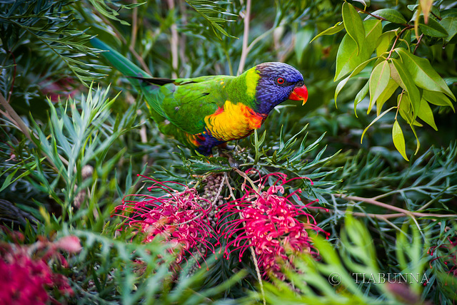 Visiting Lorikeet #1