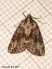 1965a Pseudocoremia suavis (2nd Specimen) Female