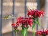 Jackie's Hummingbird