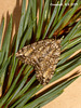 1965a Pseudocoremia suavis (6th specimen) Female