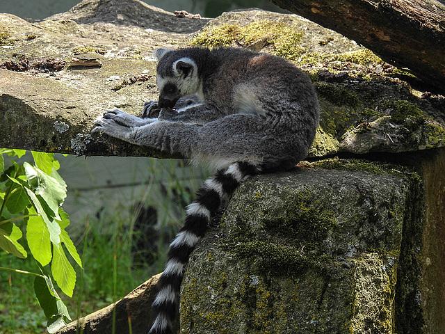 20170615 1982CPw [D~MS] Katta, Zoo Münster