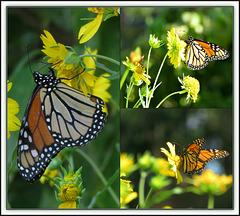 Monarch Beauty ...
