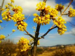 The blossom of the cornel tree