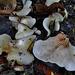 Oysterling. Crepidotaceae