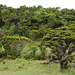 Azores, Forest in the Overgrown Lava Fields of the Pico Volcano