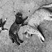 trois chats thais
