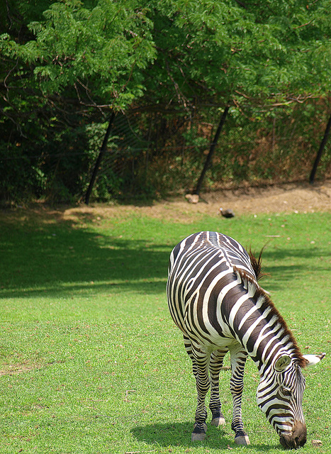 Zebra Having Lunch
