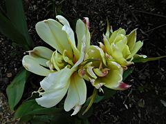 tulipes naines