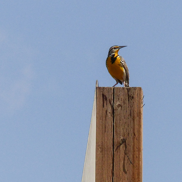 Western Meadowlark, a bird with a beautiful song