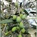 Oliven noch am Baum. ©UdoSm