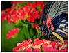 Papilio lowi (PiP)