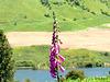 Lone Foxglove