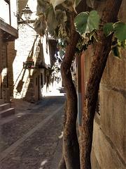 Variegated ivy, Candelario, Sierra de Bejar, Salamanca Province.