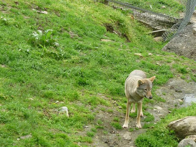 Loup ,craintif