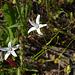 Campanula patula var. albiflora Syr.