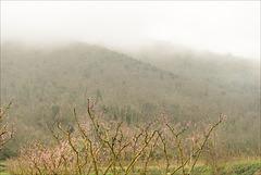 Saint Michel de Cuxa, Misty, Pessegueiros, Prunus persica.