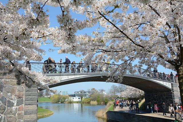 Flowering Sakura in Copenhagen