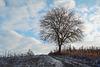 Einsamer Walsussbaum - Lonely walnut tree