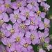 Achillea millefolium (3)