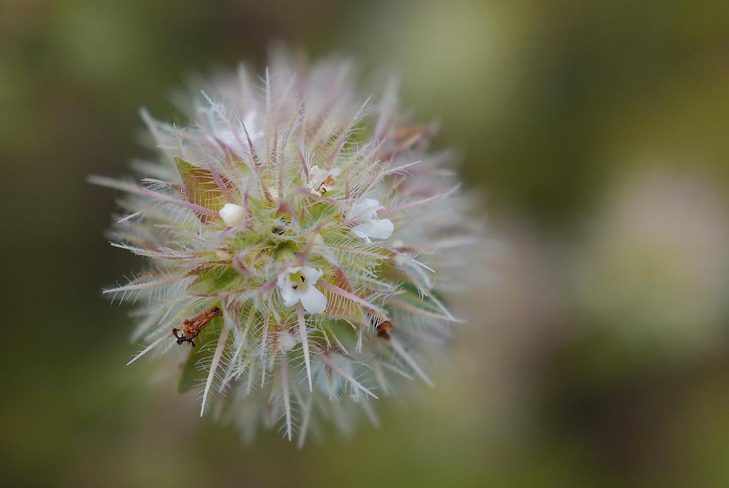 Origanum vulgare sub. virens, Lamiales