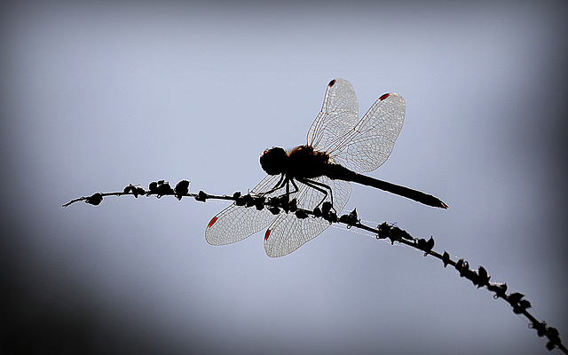 Silhouetter le sympetrum...