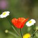 Common Field Poppy (Papaver rhoeas)