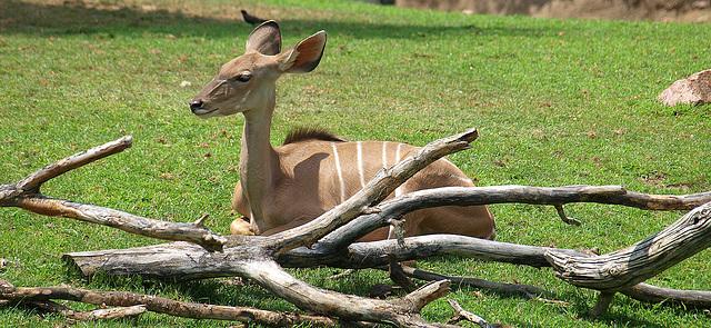 Greater Kudu at Indianapolis Zoo