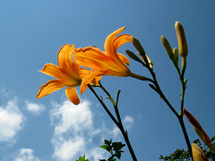 Tawney Day Lily . . .