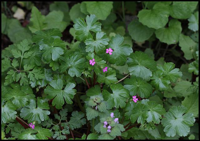 Geranium lucidum (2)