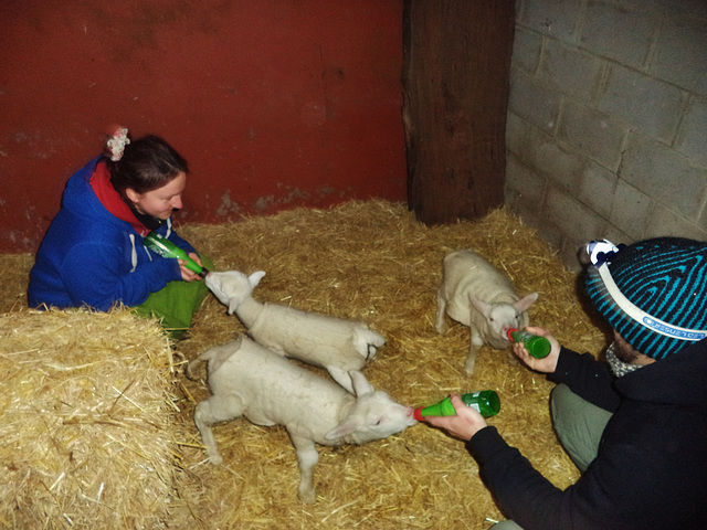 dinner time for the lambs