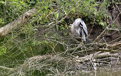 Heron au nid....