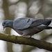Stock dove5