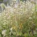 Thymus mastichina, Lamiales, Bela-luz, sal-puro, tomilho-alvadio-do-algarve