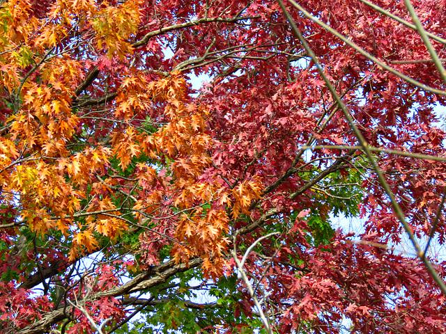 Oak leaves high above me.