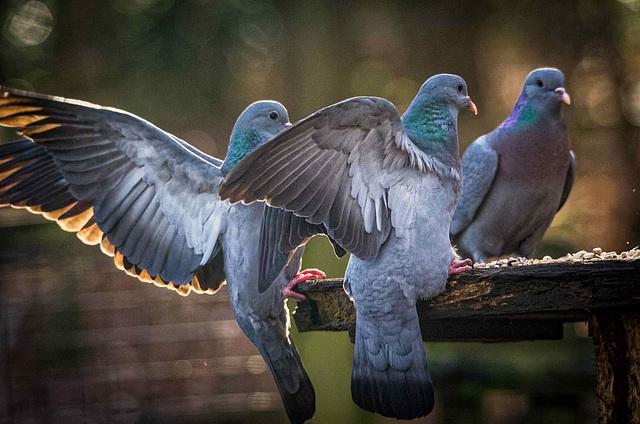 Stock doves 1