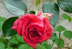Rose de l'été...