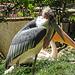 20170527 1747CPw [D~LIP] Marabu, Rosapelikan, Vogelpark Detmold-Heiligenkirchen