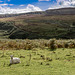 Hillside View - Smirking Sheep!