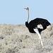 Namibia, Ostrich in Etosha National Park